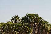 Tall palm trees — Stock Photo