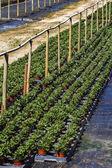 Large indoors green plant nursery — Foto de Stock