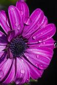 Osteospermum violet daisy flower — Stock Photo