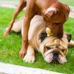 Best dog friends english bulldog and rhodesian ridgeback playing — Stock Photo #12572671