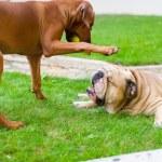 Best dog friends english bulldog and rhodesian ridgeback playing — Stock Photo #12573044