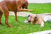 Best dog friends english bulldog and rhodesian ridgeback playing — Stock Photo