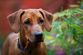 Cute beautiful young rhodesian ridgeback puppy — Stock Photo