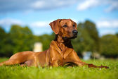 Beautiful dog rhodesian ridgeback puppy — Stock Photo