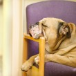 Beautiful Engish Bulldog dog having a rest in a chair — Stock Photo #13785437