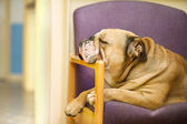 Beautiful Engish Bulldog dog having a rest in a chair — Stock Photo