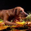 Rhodesian ridgeback dog in autumn leaves studio — Stock Photo