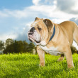 Beautiful dog english bulldog outdoors — Stock Photo #14608463