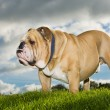Royalty-Free Stock Photo: Beautiful dog english bulldog outdoors