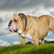 Beautiful dog english bulldog outdoors — Stock Photo #14608509