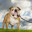 Beautiful dog english bulldog outdoors — Stock Photo #14608523