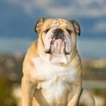 Beautiful dog english bulldog outdoors — Stock Photo