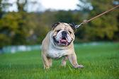 Beautiful dog english bulldog outdoors walking — Stock Photo