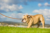 Beautiful dog english bulldog outdoors walking — Stock Photo
