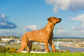Beautiful dog rhodesian ridgeback — Stock Photo