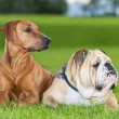 Stock Photo: Best friends dogs