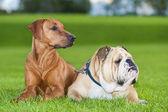 Cani gli amici migliori — Foto Stock