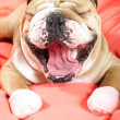 Stock Photo: Sad english bulldog dog yawning on bed