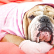 Stock Photo: Sad english bulldog dog resting on bed