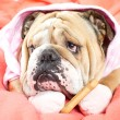Stock Photo: Sad english bulldog dog resting with treat on bed