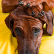 ������, ������: Cute rhodesian ridgeback puppy with paws on her head