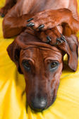 Cute rhodesian ridgeback puppy with paws on her head — Stock Photo