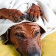 Stock Photo: Cute funny dog puppy with paws crossed on her wrinkly head cover