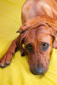 Cute funny dog puppy with paws crossed on her head and huge eyes — Stock Photo