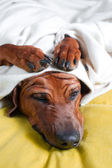 Cute funny dog puppy with paws crossed on her wrinkly head cover — Stock Photo