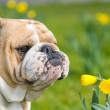 Happy cute english bulldog dog in the spring field — Stock Photo #23237008