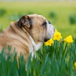 Happy cute english bulldog dog in the spring field — Stock Photo #23237672
