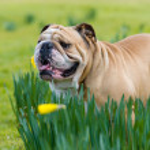 Happy cute english bulldog dog in the spring field — Stock Photo