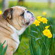 Happy cute english bulldog dog in the spring field — Stock Photo #23238520