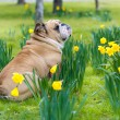 Happy cute english bulldog dog in the spring field — Стоковая фотография