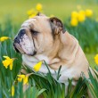 Happy cute english bulldog dog in the spring field — Stock Photo #23239840