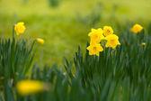 Gele voorjaar narcissen veld — Stockfoto