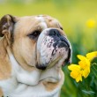 Happy cute english bulldog dog in the spring field — Stock Photo
