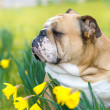 Royalty-Free Stock Photo: Happy cute english bulldog dog in the spring field