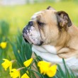 Happy cute english bulldog dog in the spring field — Stock Photo #23240456