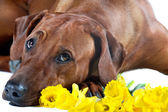 Beautiful dog rhodesian ridgeback laying in yellow flowers isola — Stock Photo