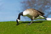 Portrait of beautiful goose bird walking on a lawn — Stock Photo