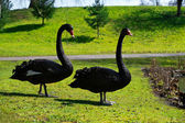 Two beautiful black swans walking on green lane park — Stock Photo