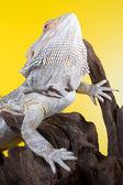 Barbuto lucertola rettile di drago su un ramo su sfondo giallo — Foto Stock