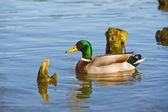 Beautiful bright duck mallard bird swimming in a lake river — Stock Photo