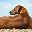 Stock Photo: Dog at the beach