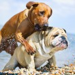 Stock Photo: Two dogs playing on the beach at the sea