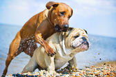 Two dogs playing on the beach at the sea — Foto Stock