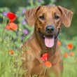 Rhodesian ridgeback puppy dog in a field of flowers — Stock Photo