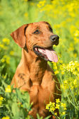 Rhodesian ridgeback puppy dog in a field of flowers — Stok fotoğraf