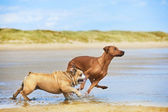 Two dogs english bulldog and rhodesian ridgeback dog running at — Stock Photo
